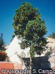 Lophanthera lactescens