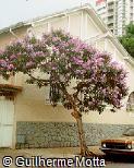 Tibouchina granulosa