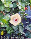 Hibiscus rosa-sinensis ´Araka Crimson Ray Type´
