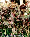 Pseuderanthemum carruthersii ´Atropurpureum´