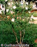 Hibiscus rosa-sinensis ´Dainty White´