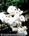 Rosa lucieae var. lucieae