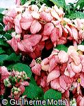 Mussaenda erythrophylla ´Rosea´