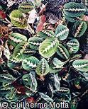 Maranta leuconeura ´Erythroneura´