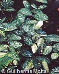 Dracaena surculosa var. surculosa