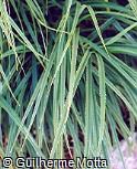 Pandanus pygmaeus