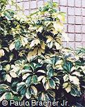 Schefflera arboricola ´Ivonete´