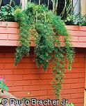 Asparagus densiflorus ´Sprengeri´