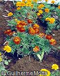 Tagetes patula ´Red Cherry´