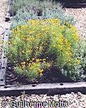 Helenium radiatum