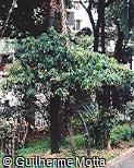 Acalypha wilkesiana ´Godseffiana´