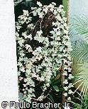 Hedera algeriensis ´Gloire de Marengo´