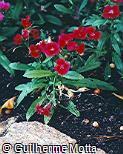 Dianthus chinensis ´Telstar Crimson´