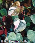 Philodendron scandens ´Tricolor´
