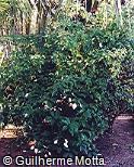 Mussaenda frondosa