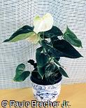 Anthurium andraeanum ´Crystal Champion´