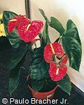 Anthurium andraeanum ´Anthbnzl´