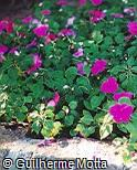 Impatiens walleriana ´Super Elfin Violet XP´