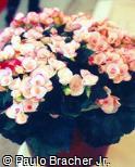 Begonia reniformis ´Camella´