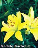 Lilium pumilum ´Butter Pixie´