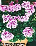 Pelargonium zonale ´Icecrystal´