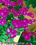 Pelargonium zonale ´Penve´
