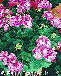 Pelargonium zonale ´Melody´