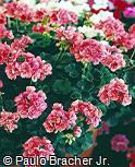 Pelargonium zonale ´Bergpalaris´