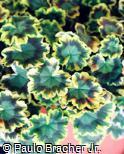 Pelargonium zonale ´Mrs. Pollock´