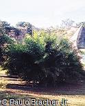 Allagoptera campestris