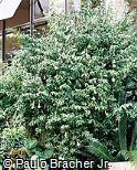 Thunbergia erecta var. albiflora