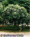 Plumeria rubra ´Jak Daow´