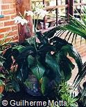 Eucharis × grandiflora