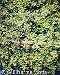 Plectranthus scutellarioides ´Butterfly´