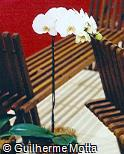 Phalaenopsis  ´Allegria´