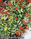 Euphorbia fulgens