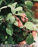 Fuchsia triphylla