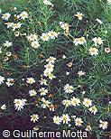 Argyranthemum foeniculaceum