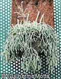 Rhipsalis baccifera subsp. horrida