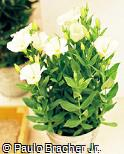 Eustoma grandiflorum ´A White´