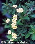 Euphorbia milii ´Lutea´