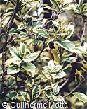 Ilex aquifolium ´Argentea Marginata´