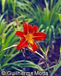 Hemerocallis x hybrida