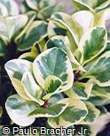 Peperomia obtusifolia ´Variegata´