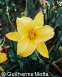Hemerocallis  ´By Myself´