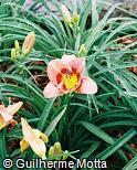 Hemerocallis  ´Carolina´
