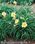 Hemerocallis x hybrida ´Stella D´ Oro´