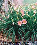 Hemerocallis x hybrida ´Olga Ullmann´