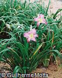 Hemerocallis  ´Santa Catarina´