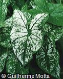 Caladium bicolor ´Candidum´